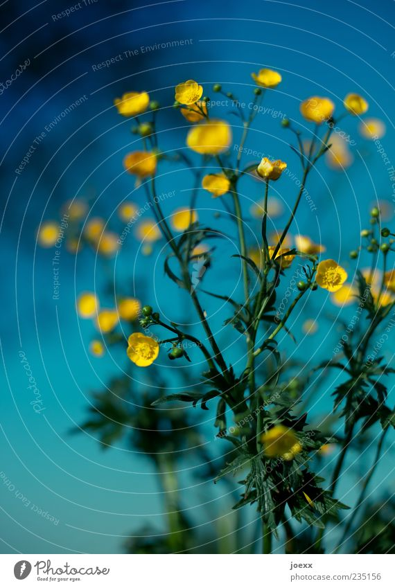 solar system Sky Spring Plant Flower Meadow Blue Yellow Green Crowfoot Crowfoot plants Colour photo Multicoloured Exterior shot Close-up Deserted Day