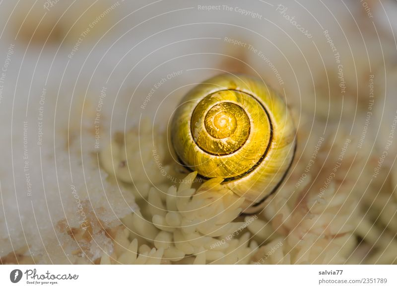 golden cottage Nature Winter Plant Leaf Wild plant Sedum Snail Snail shell 1 Animal Yellow Gold White Snow Structures and shapes Spiral Colour photo