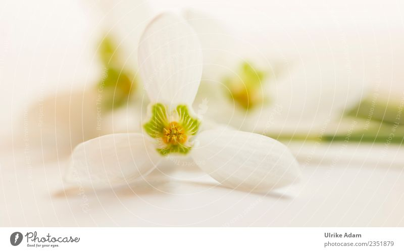 Delicate macro blossom of snowdrops Wellness Life Harmonious Well-being Contentment Relaxation Calm Meditation Card Mother's Day Easter Baptism Nature Plant
