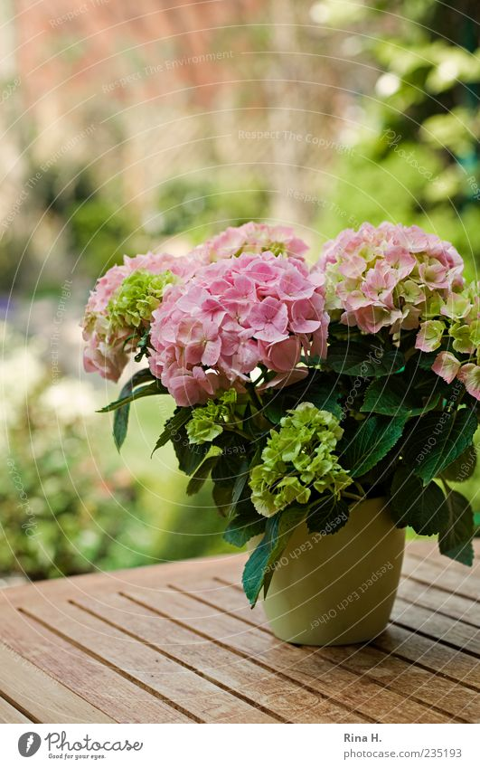 Green Plant Spring Bright Pink Blossoming Anticipation Spring fever Pot plant Hydrangea