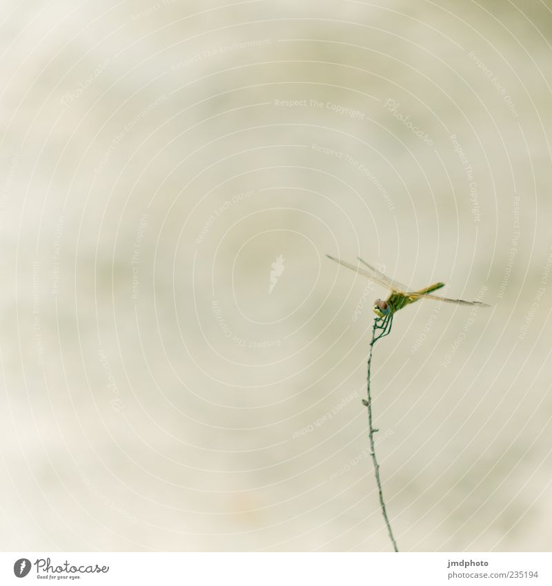 dragonfly Environment Nature Grass Wing Dragonfly 1 Animal Flying Elegant Free Colour photo Exterior shot Close-up Detail Deserted Neutral Background Day