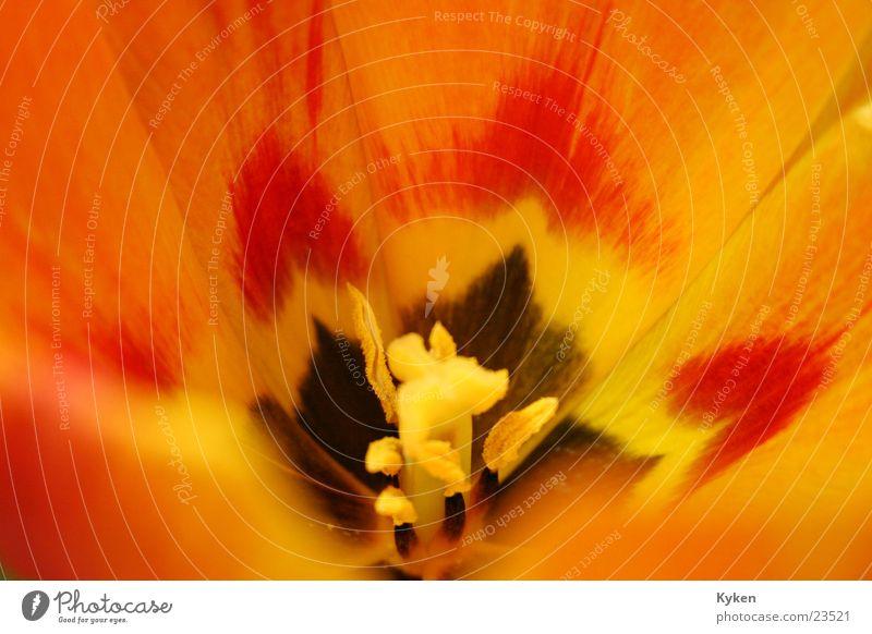 Green Red Flower Leaf Yellow Spring Blossom Orange Tulip Pistil Calyx