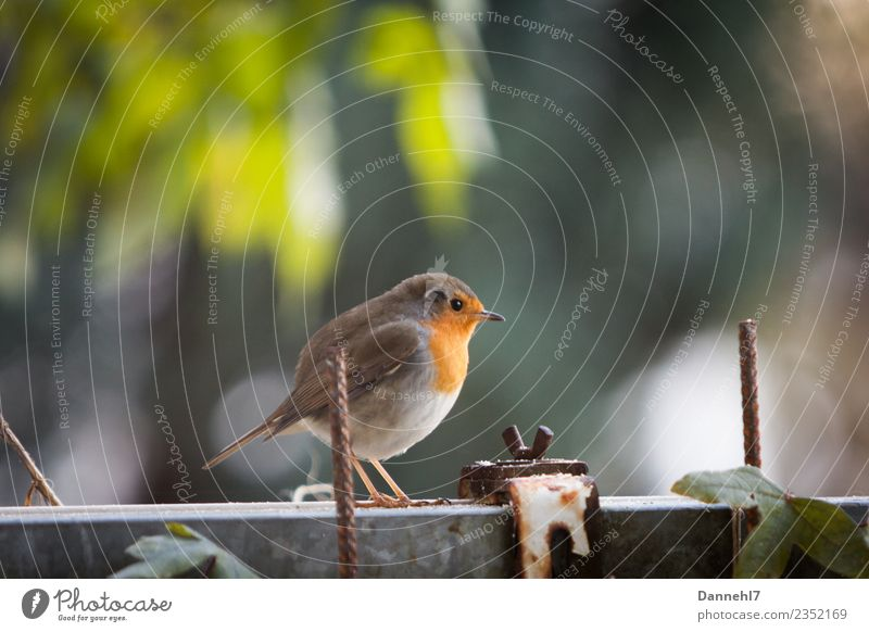 Red Robin Robin I Spring Beautiful weather Plant Garden Animal Wild animal Bird Animal face Wing 1 Observe Feeding Small Brown Green Safety Protection
