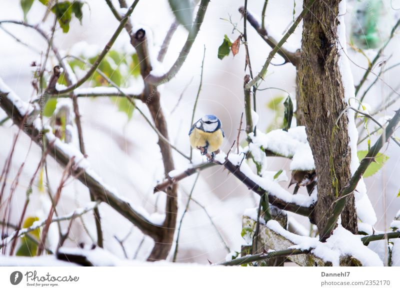 The blue one in the snow Environment Nature Winter Weather Ice Frost Snow Snowfall Plant Bushes Rose Leaf Garden Animal Wild animal Bird Animal face 1 Observe