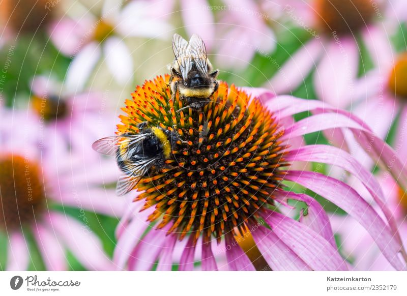 Two bees at work Garden Nature Landscape Plant Animal Spring Summer Beautiful weather Flower Blossom Foliage plant Farm animal Wild animal Bee Wing 2 Flock