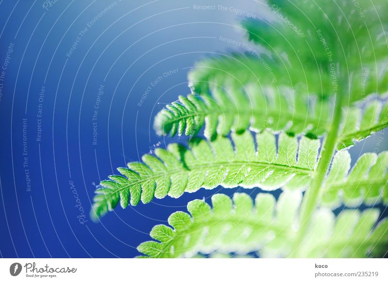 Fern in backlight Sun Spring Summer Plant Leaf Growth Esthetic Exceptional Fresh Glittering Blue Green Beautiful Colour photo Close-up Detail