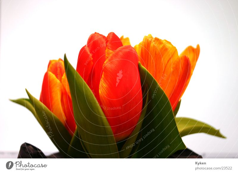Green Red Flower Leaf Yellow Spring Blossom Orange Tulip