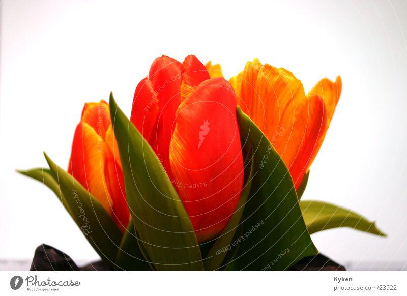 Tulips #1 Spring Flower Yellow Red Green Leaf Blossom Multicoloured Orange