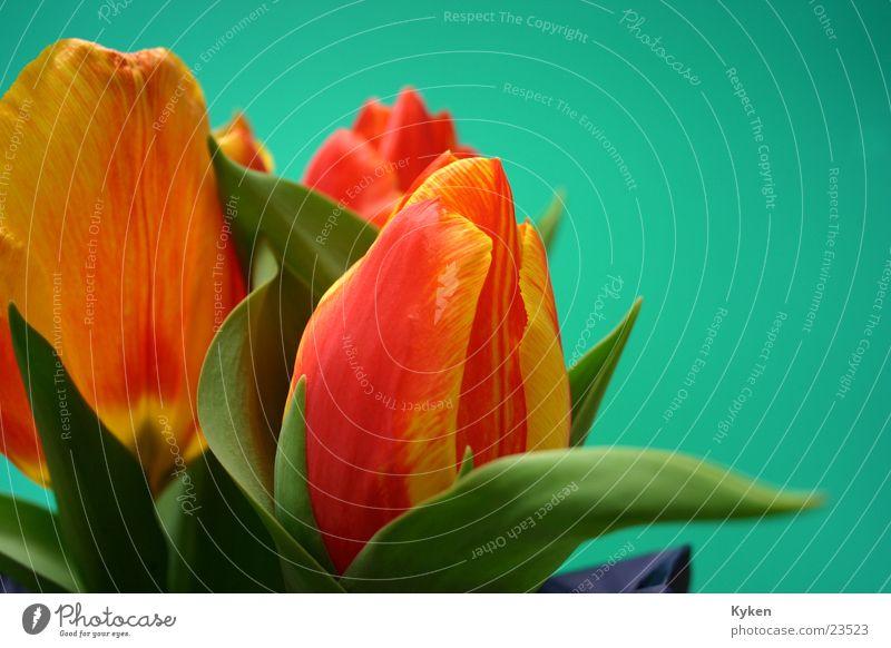 Green Red Flower Leaf Yellow Spring Blossom Orange Tulip