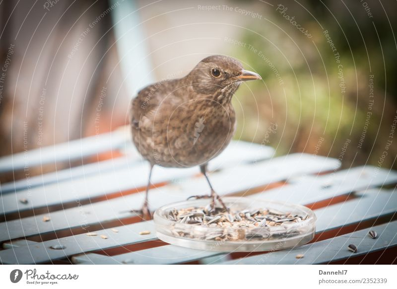 Berta the blackbird Garden Animal Bird 1 Eating Feeding To enjoy Beautiful Thin Blue Brown Self-confident Appetite Voracious Blackbird female Feeding area