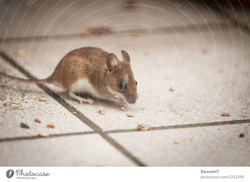 Here comes the mouse II Animal Wild animal Pelt 1 Observe Eating To feed Feeding Disgust Small Cute Brown Curiosity Interest Appetite Fear Mouse Grain Tile