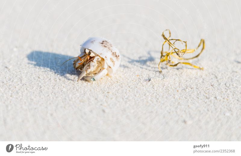 Hermit crab IV Vacation & Travel Adventure Summer Beach Ocean Island Environment Nature Sand Coast Maldives Animal Wild animal Mussel Animal face Animal tracks