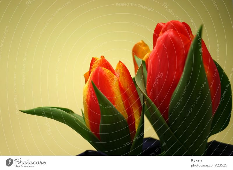 Tulips #2 Spring Flower Yellow Red Green Leaf Blossom Multicoloured Orange