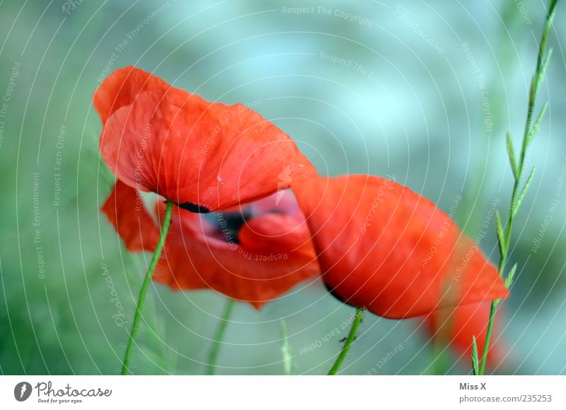 Red Plant Summer Flower Leaf Meadow Grass Spring Garden Blossom Growth Blossoming Poppy Stalk Fragrance Blossom leave