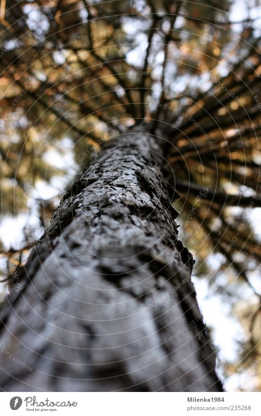 one of many Nature Plant Spring Tree Tall Pine Tree bark Tree trunk Branch Height Above Colour photo Exterior shot Day Shallow depth of field Worm's-eye view