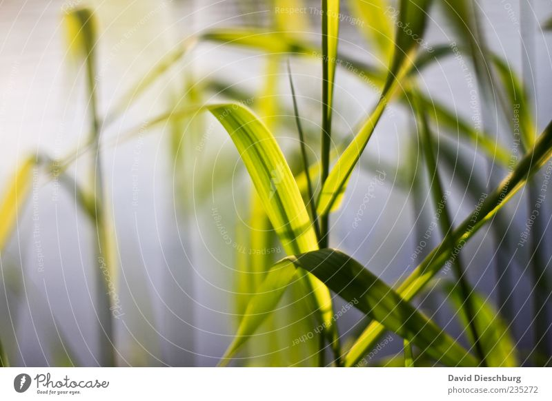 In the evening at the river Nature Plant Grass Foliage plant Green Stalk Blade of grass Calm Natural Curved Colour photo Close-up Detail Common Reed Deserted