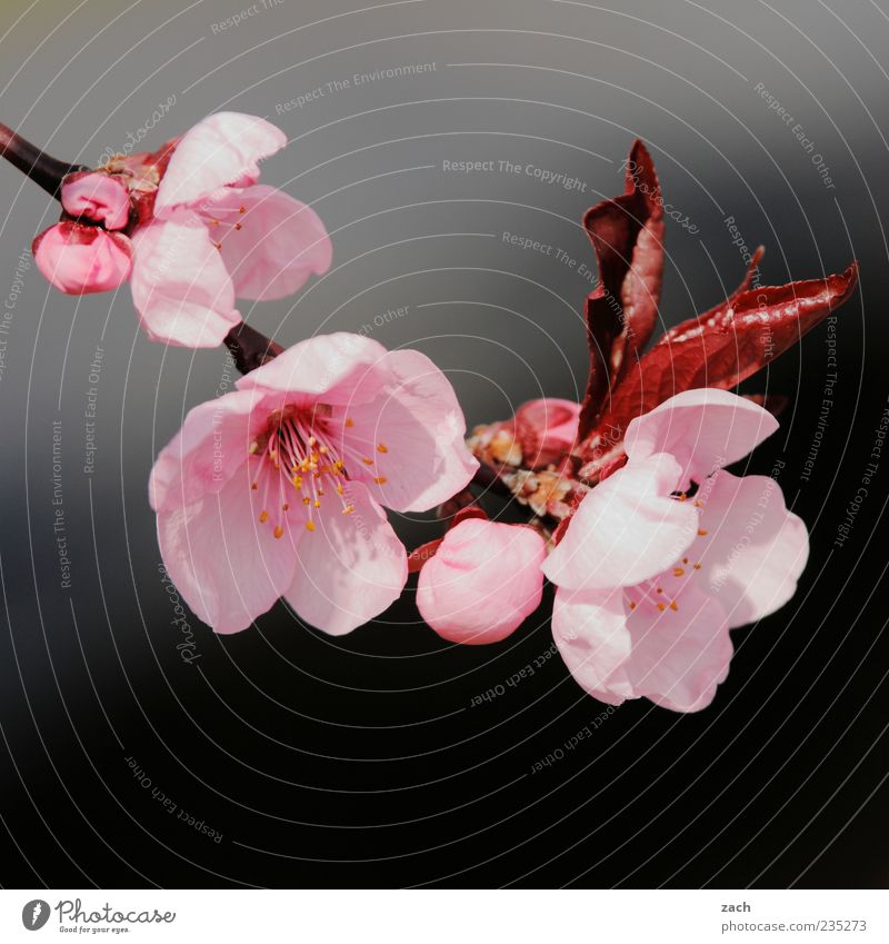Nature Beautiful Plant Flower Leaf Black Environment Spring Garden Blossom Pink Growth Blossoming Bud Cherry blossom Twigs and branches