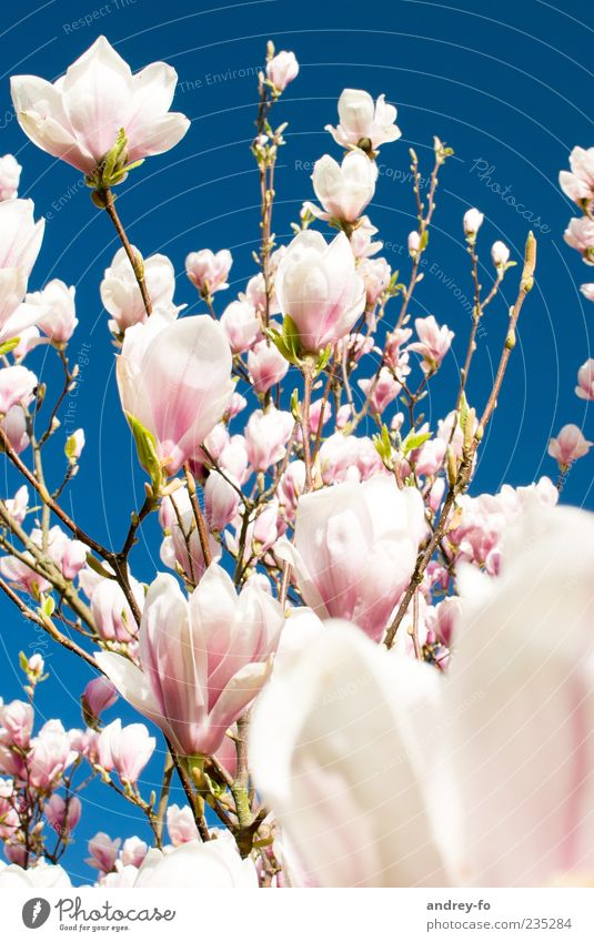 magnolia tree Nature Sky Cloudless sky Spring Summer Beautiful weather Tree Flower Blossom Blue Pink Magnolia tree Magnolia blossom Spring flower Spring colours