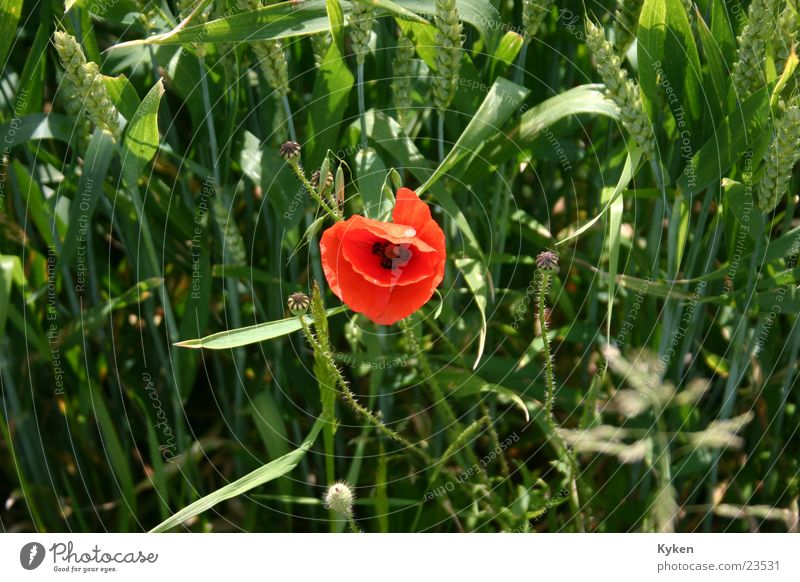 Flower Green Red Summer Grass Field Poppy Grain