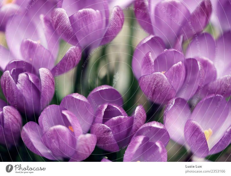 Spring, purple Nature Plant Beautiful weather Flower Blossom Crocus Meadow Violet Joy Colour photo Multicoloured Macro (Extreme close-up) Day Light Sunlight