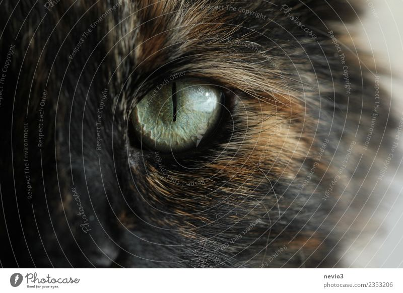 Cat's eye in detail Animal Pet Farm animal Wild animal Pelt 1 Aggression Threat Curiosity Smart Beautiful Reliability Strong Brown Black Power Willpower
