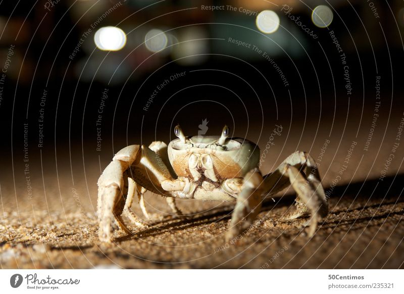 Cancer on the beach - crab on the beach Animal Wild animal Shellfish 1 Sand Movement Elegant Natural Beautiful Brown Yellow Power Brave Calm Life Esthetic