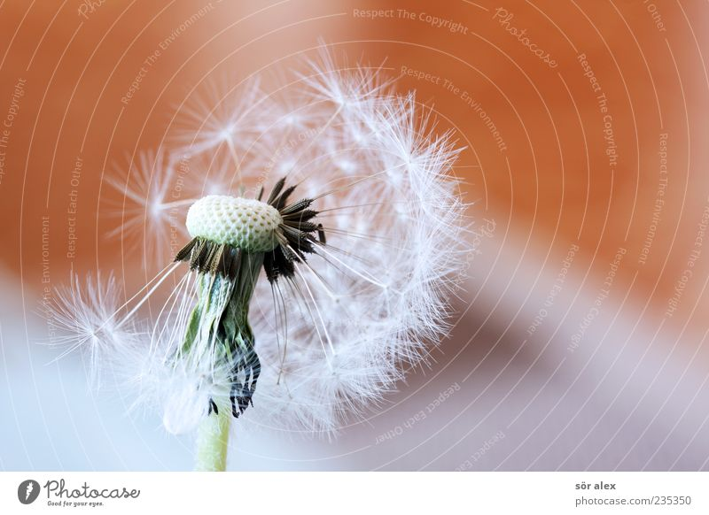 Plant Beautiful White Flower Calm Emotions Blossoming Change Transience Delicate Dandelion Ease Seed Smooth Easy Pollen