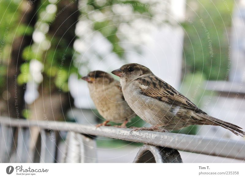 Berlin sparrows Environment Deserted Animal Wild animal Bird 2 Pair of animals Trust Sparrow Handrail Colour photo Exterior shot Day Sit Full-length