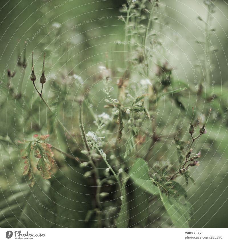 Old Green Plant Flower Leaf Blossom Grass Transience Dry Ecological Shriveled Forget-me-not
