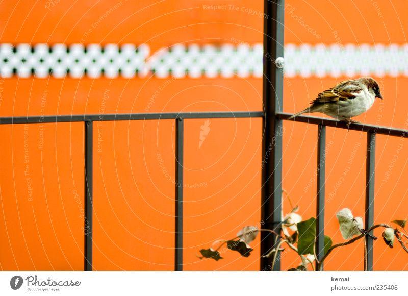 Plant Animal Metal Orange Bird Wild animal Sit Masculine Wing Individual Handrail Balcony Ivy Tendril Sparrow
