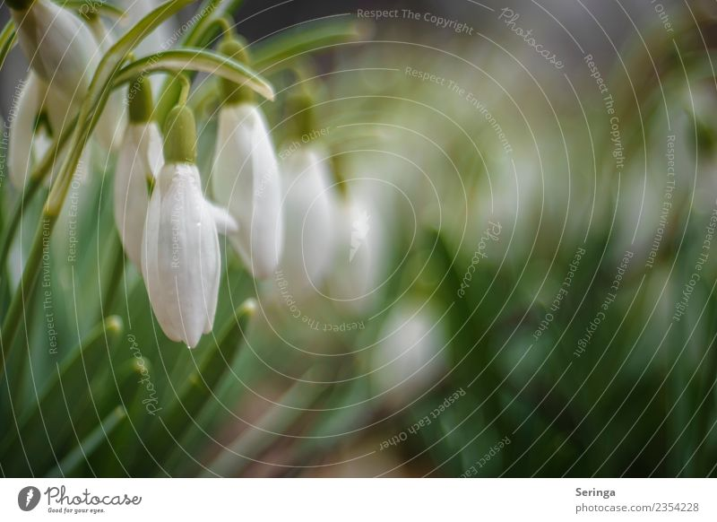 snowdrop game Environment Nature Landscape Plant Animal Spring Autumn Leaf Blossom Wild plant Garden Park Meadow Blossoming Snowdrop Colour photo Subdued colour