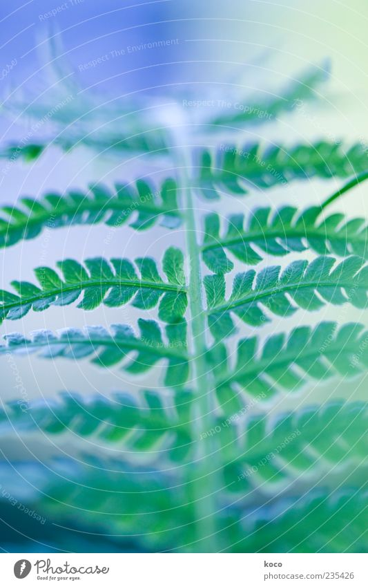 Fern in green-blue Nature Plant Leaf Foliage plant Growth Esthetic Exceptional Positive Blue Green Colour photo Close-up Detail Macro (Extreme close-up) Morning