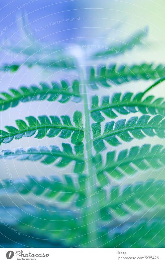 Nature Blue Green Plant Leaf Exceptional Esthetic Growth Positive Fern Foliage plant Rachis