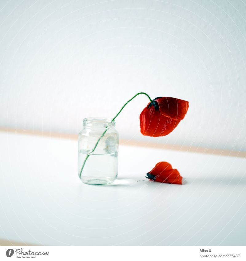 White Red Summer Flower Leaf Spring Blossom Sadness Glass Table Decoration Transience Simple To fall Blossoming Poppy