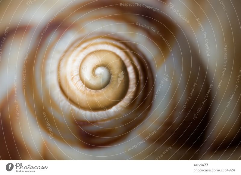 spiral Nature Animal Snail Snail shell Spiral Round Brown Yellow Gray Beginning Design Symmetry Structures and shapes Infinity logarithmic spiral Whorl Art Line