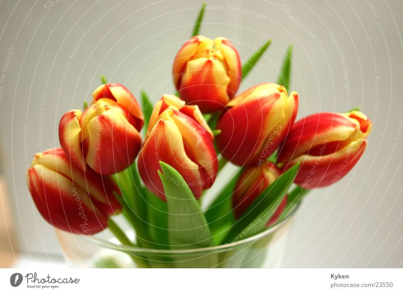 Tulips then near Spring Flower Blossom Red Yellow Near Glass
