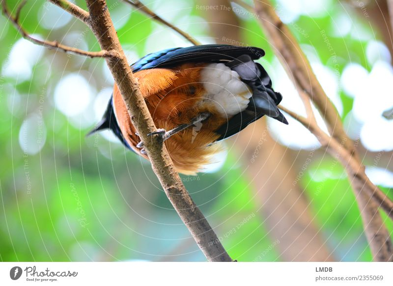 The STAR in the Tropical House I Animal Forest Wild animal Bird 1 Blue Brown Green Orange Under Feather Branch Hind quarters Starling Copper Nature One-legged