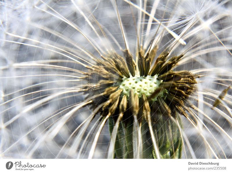 Nature White Plant Flower Growth Near Dandelion Seed Curved Propagation Wild plant Seed plant Grouped