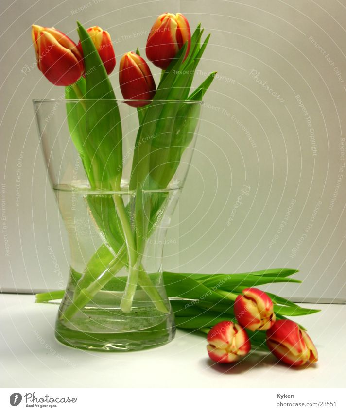 tulips Tulip Yellow Red Green Flower Blossom Spring Leaf Multicoloured Vase Colour Glass Water