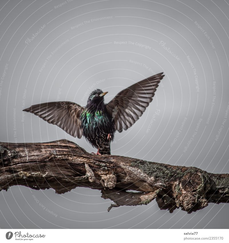 courtship Nature Spring Tree Animal Bird Wing Starling Ornithology 1 Communicate Sports Glittering Beautiful Brown Gray Green Spring fever Elegant