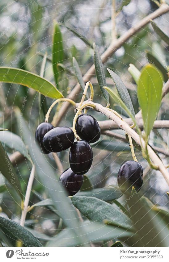 Close up branch of olives tree and black ripe olives Food Vegetable Plant Tree Garden Forest Eating Surprise Dream Leaf Mature Olive Agriculture Green Nature