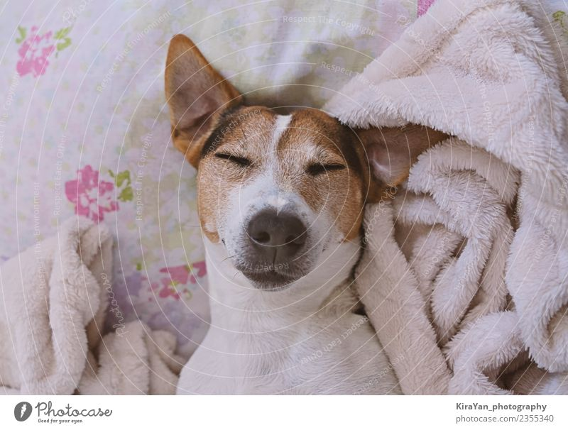 Sleepy jack russell terrier in blanket Adults Pet Dog Funny Cute Blanket Delightful Puppy Bedroom Domestic Pink Home Youth (Young adults) Muzzle Head