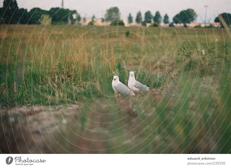 Orgsa Nature Grass Animal Wild animal Bird Seagull 2 Looking Scream Colour photo Subdued colour Exterior shot Deserted Copy Space left Copy Space bottom Dawn