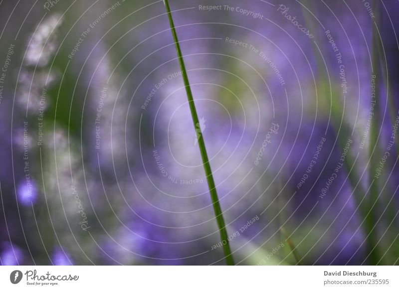 Fuzzy Lavender Nature Plant Summer Grass Green Violet Blade of grass Growth Detail Colour photo Exterior shot Close-up Structures and shapes Day Light Contrast