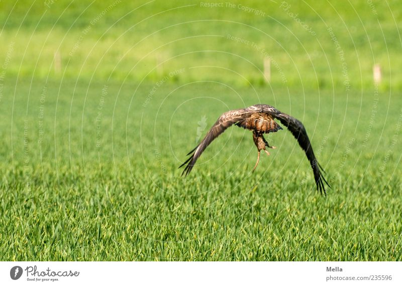 grasp one's food Environment Nature Animal Grass Meadow Field Wild animal Bird Hawk Common buzzard 1 Catch Flying Hunting Natural Green hunting success Captured