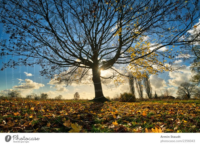tree Environment Nature Landscape Sky Sun Autumn Winter Climate change Beautiful weather Wind Tree Leaf Maple tree Park Meadow Large Positive Dry Blue Yellow