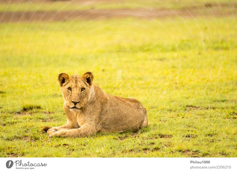 Lion lying in the grass gaggling Safari Baby Man Adults Mother Group Nature Animal Virgin forest Fur coat Cat Small Natural Wild Dangerous Africa Amboseli Kenya