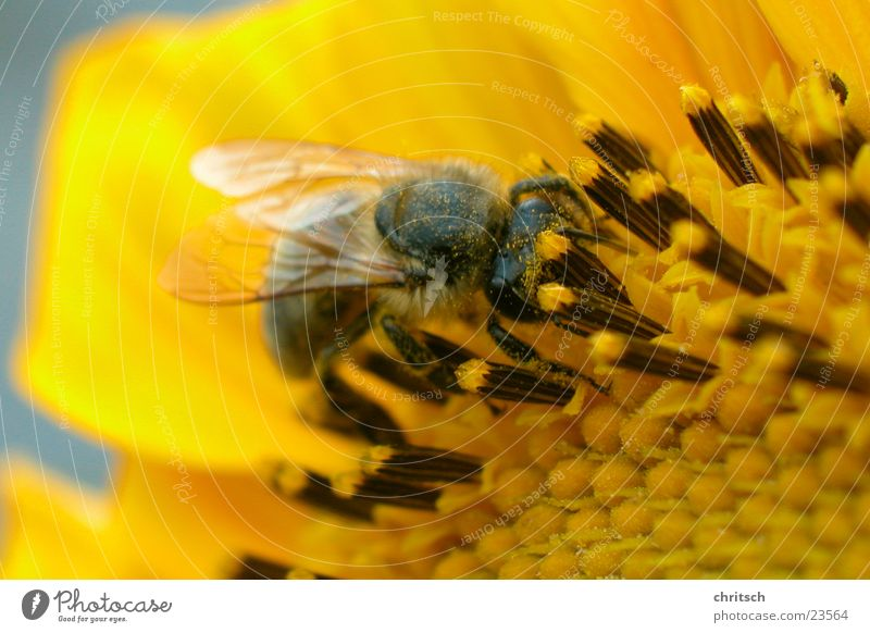 bee Bee Flower Honey Yellow Pollen Sunflower