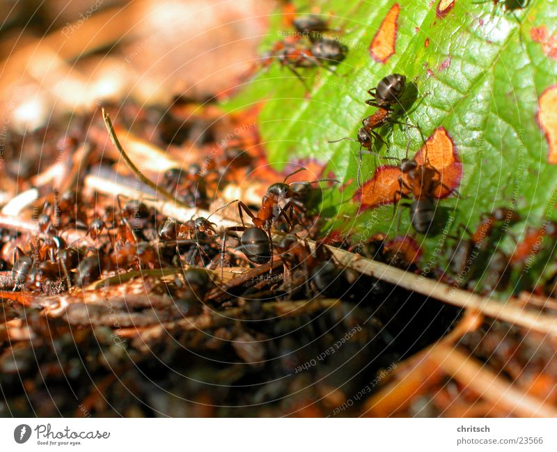 Leaf Ant Nest