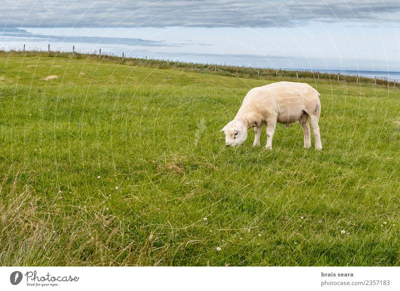 Texel sheep Food Meat Eating Vegetarian diet Diet Contentment Summer Island Environment Nature Animal Earth Sky Spring Beautiful weather Grass Meadow Field Curl